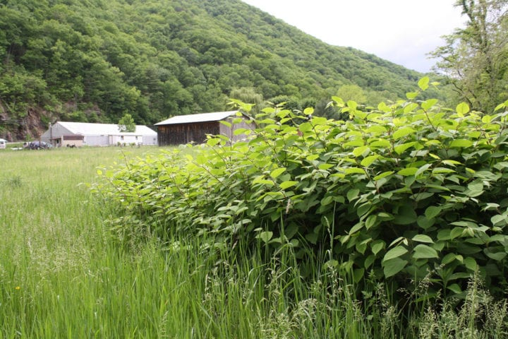 Japanese knotweed law