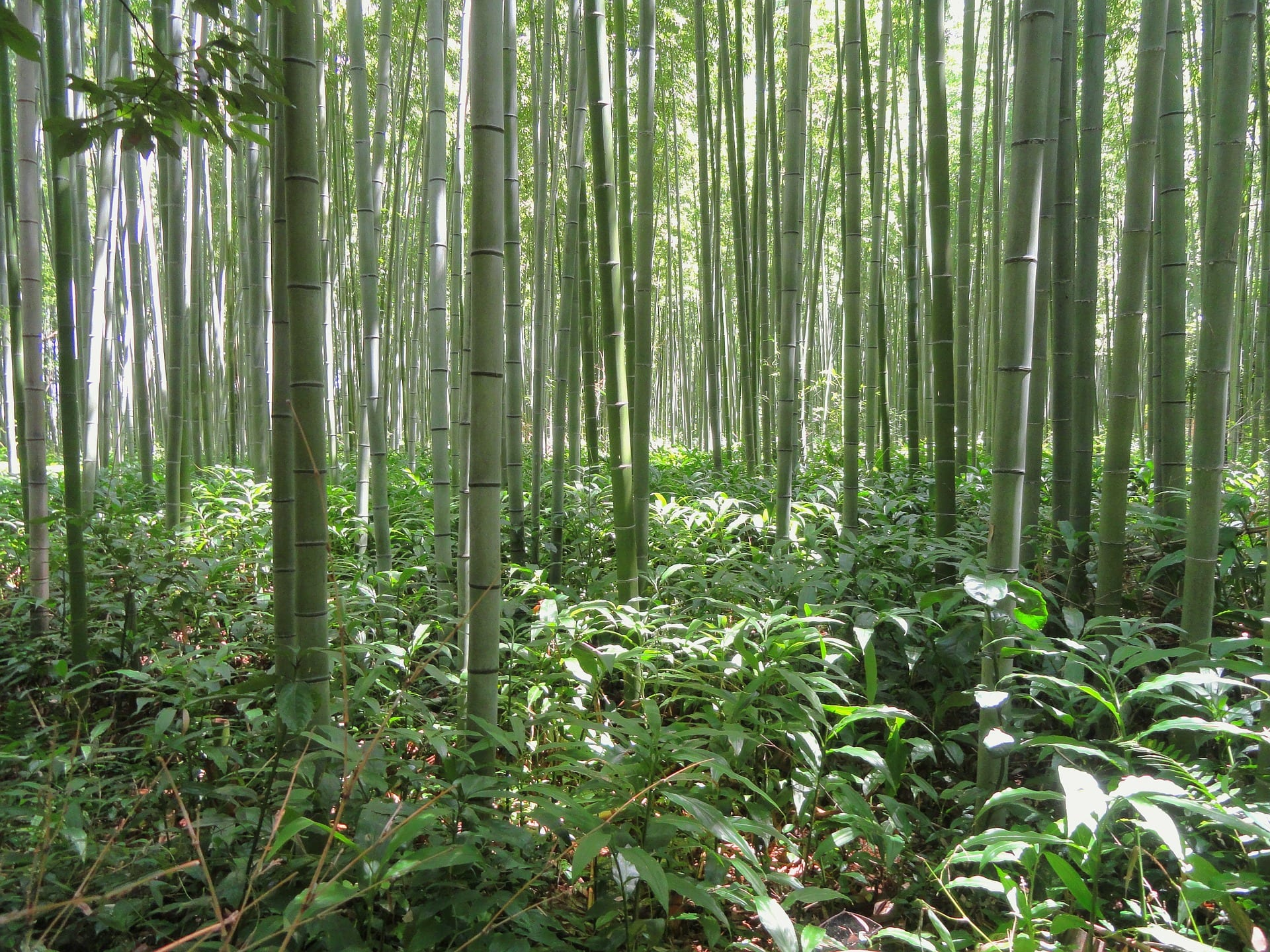 Bamboo growing in native Japan