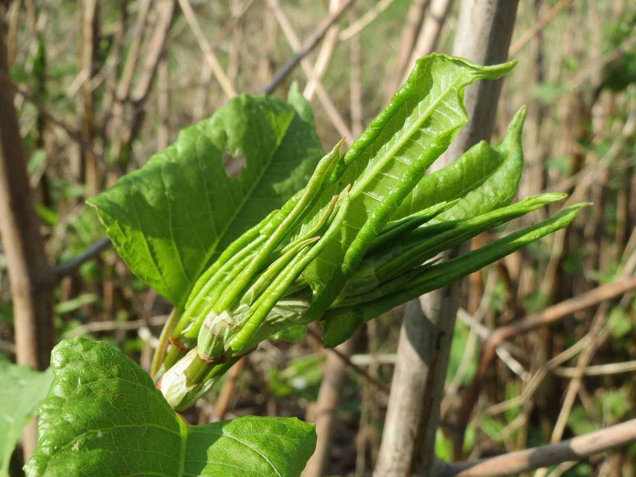 Young Japanese knotweed leaves