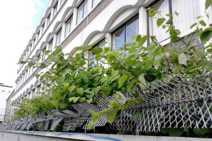 Japanese knotweed growing outside flats